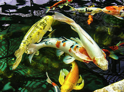 Photograph - Koi 2018 2b by Phyllis Spoor