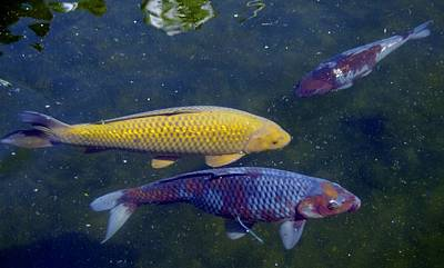 Photograph - Koi 7214 3 by Phyllis Spoor