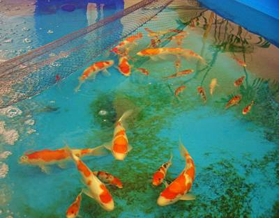 Photograph - kcsd Koi Buying Trip 18 by Phyllis Spoor