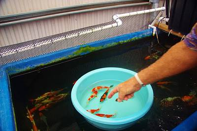 Photograph - Koi Buying Trip 8 by Phyllis Spoor