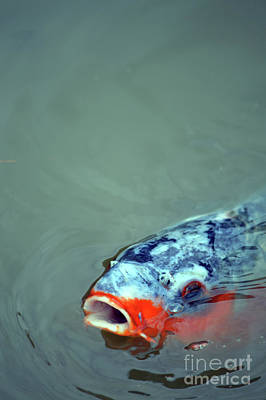 Photograph - Koi  by Carol Eliassen