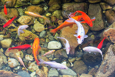 Photograph - Koi Fish 2017 01 by Jim Dollar