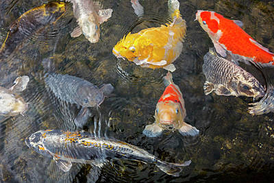 Photograph - Koi Fish by Arterra Picture Library