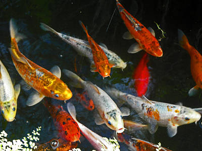 Koi Fish IIi Art Print by Elizabeth Hoskinson
