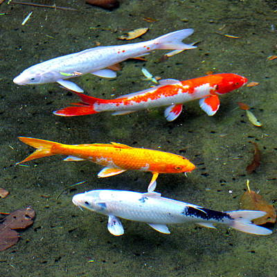 Photograph - Koi Fish In A Shallow Pool by Karon Melillo DeVega