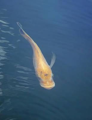 Photograph - Koi Fish by Pamela Walton