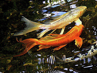 Photograph - Koi Fish Swim In Synch by Margie Avellino