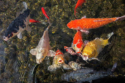 Photograph - Koi Fishes by Arterra Picture Library