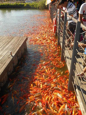 Photograph - Koi Fishes In Feeding Frenzy by Christopher Shellhammer