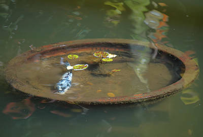 Photograph - Koi In A Bowl by Pamela Walton