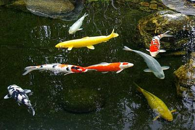Photograph - Koi-jfg Cherry Blossom Festival 2013-4 by Phyllis Spoor