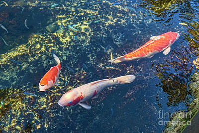 Photograph - Koi by Jon Burch Photography