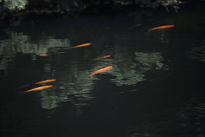 Photograph - Koi by Morris  McClung