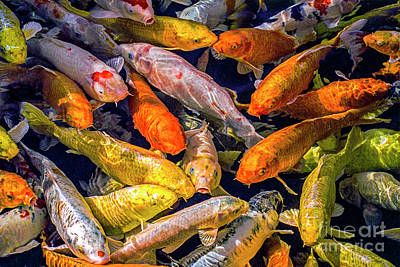 Photograph - Koi On Golden Pond by David Zanzinger