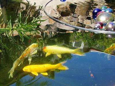 Photograph - Koi Pond 13 2 by Phyllis Spoor