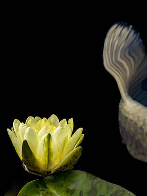 Photograph - Koi Tail And Yellow Water Lily by Jean Noren