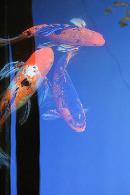 Photograph - Koi Vi  Blue by Ron Morecraft
