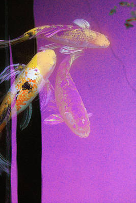 Photograph - Koi Vi Magenta by Ron Morecraft