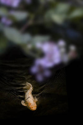 Ambition Photograph - Koi by Wes Jimerson