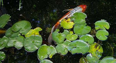 Photograph - Koi With Lily Pads A by Phyllis Spoor