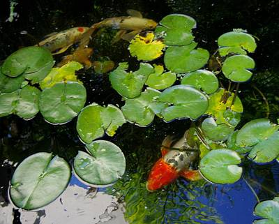 Photograph - Koi With Lily Pads D by Phyllis Spoor