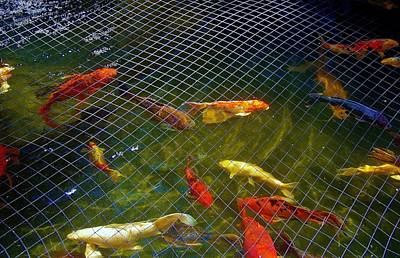 Photograph - Koi With Net A by Phyllis Spoor