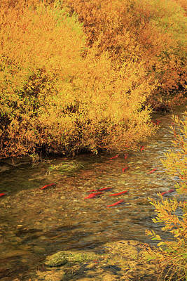 Kokanee Salmon Photograph - Kokanee In The Strawberry River. by Johnny Adolphson