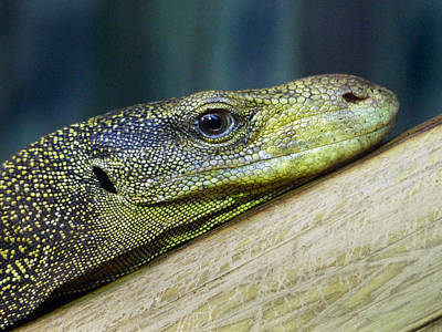Photograph - Komodo Dragon 2 by Jeff Brunton