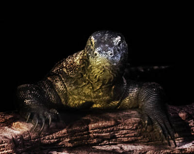 Reptiles Royalty-Free and Rights-Managed Images - Komodo Dragon by Martin Newman