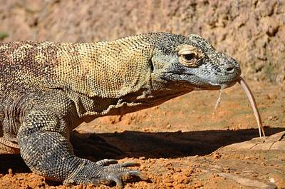 Photograph - Komodo Dragon Showing Forked Tongue by Rose  Hill