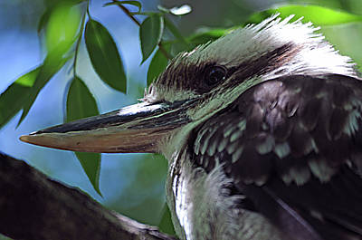 Photograph - Kookaburra 1 by Diana Douglass