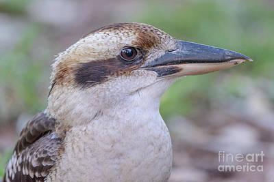 Photograph - Kookaburra 12 by Werner Padarin