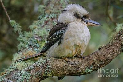 Photograph - Kookaburra 4 by Werner Padarin