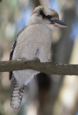 Photograph - Kookaburra In Nature by Masami IIDA