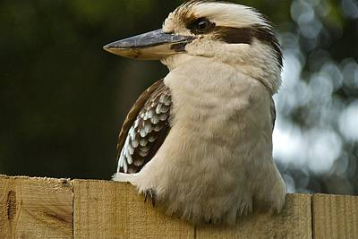 Photograph - Kookaburra by Jocelyn Kahawai