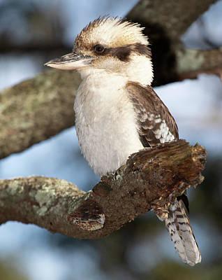 Photograph - Kookaburra Resting by Masami IIDA