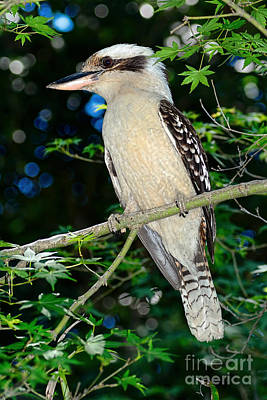 Photograph - Kookaburra Sits On A Maple Tree by Kaye Menner