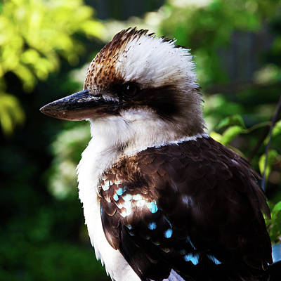 Photograph - Kookaburra Visits Me by Miroslava Jurcik