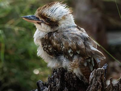 Photograph - Kookaburra by Walt Sterneman