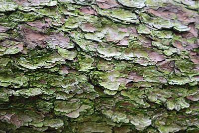 Photograph - Korean Pine No. 5-1 by Sandy Taylor