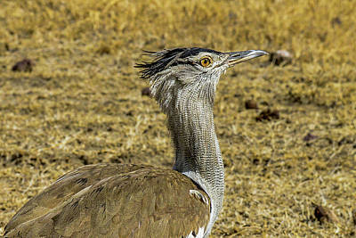 Photograph - Kori Bustard On The Serengeti by Marilyn Burton