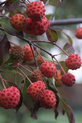 Photograph - Kousa Dogwood Berries by Vadim Levin