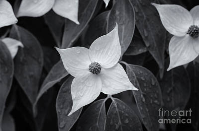 Photograph - Kousa Dogwood Midnight by Rachel Cohen