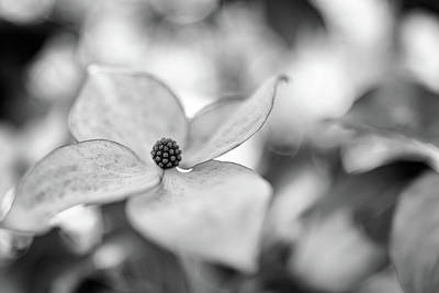 Photograph - Kousa Dogwood by Rick Berk