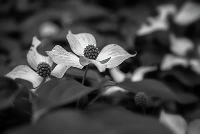 Photograph - Kousa Dogwoods Bw by Jonathan Nguyen