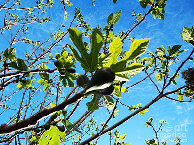 Figtree Photograph - Figtree Leaves by Don Pedro De Gracia