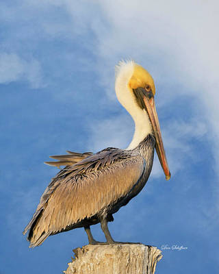 Photograph - Kremer's Pelican by Don Schiffner