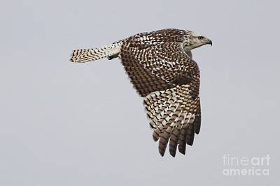 Photograph - Krider's Red-tailed Hawk by Elizabeth Winter