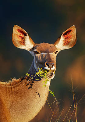 Portraits Royalty-Free and Rights-Managed Images - Kudu portrait eating green leaves by Johan Swanepoel