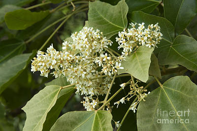 Hawaiian Flora Photograph - Kukui Tree Flowers by Inga Spence